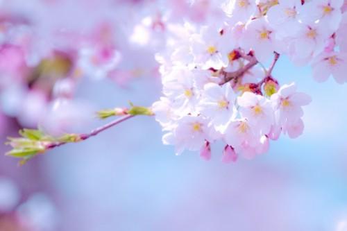 えっ…パリでお花見!? 実は穴場「海外のオススメ桜スポット」3つ